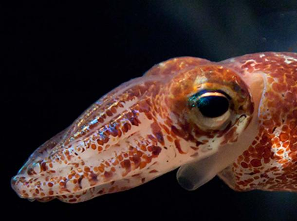 Squid eye. PLoS Biology (Author Provided)