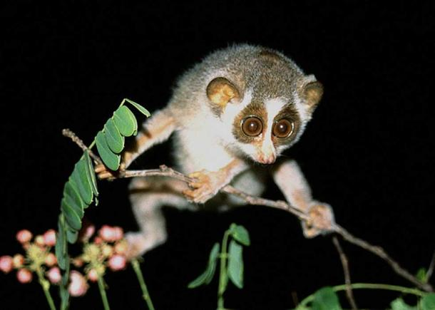 Early primates possessed adaptations for 'arboreal locomotion' that enabled maneuvering along fine branches, as seen in this slender loris.