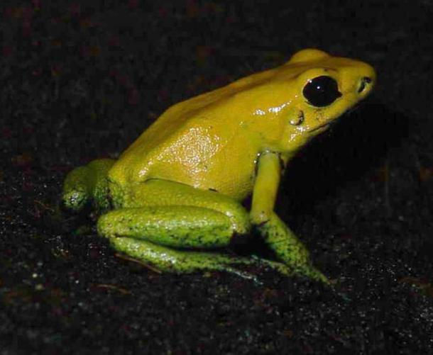 The black-legged dart frog is a species whose secretions are used in the preparation of poison darts. Luis Miguel Bugallo Sánchez, (CC By-SA 3.0)