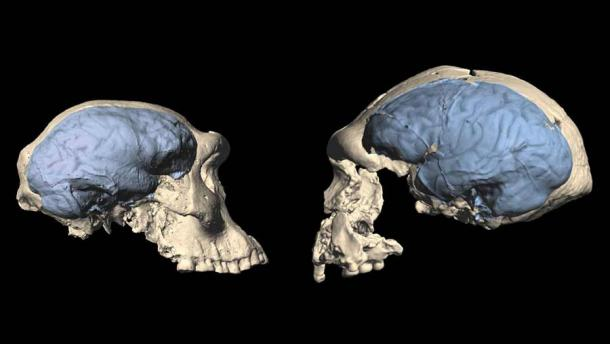 New research shows brains of early humans (illustrated in blue) may have evolved from a more ape-like version (left) seen in a specimen from Dmanisi, Georgia, to the more modern humanlike one (right) from Sangiran, Indonesia, between 1.7 million and 1.5 million years ago. (M.S. Ponce de León and C.P.E. Zollikofer/University of Zurich)