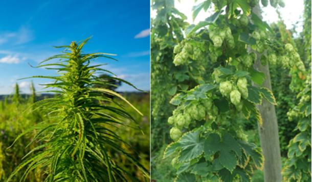 Left; cannabis plant, Right; Hop plant. Both are part of the same flowering plant family (Cannabaceae). Soucre:  (Dmytro Sukharevskyi /Adobe; CC BY-SA 2.0)