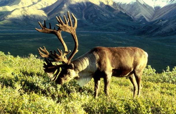 This caribou with its magnificent rack in Alaska is the same species called reindeer in Scandinavia.