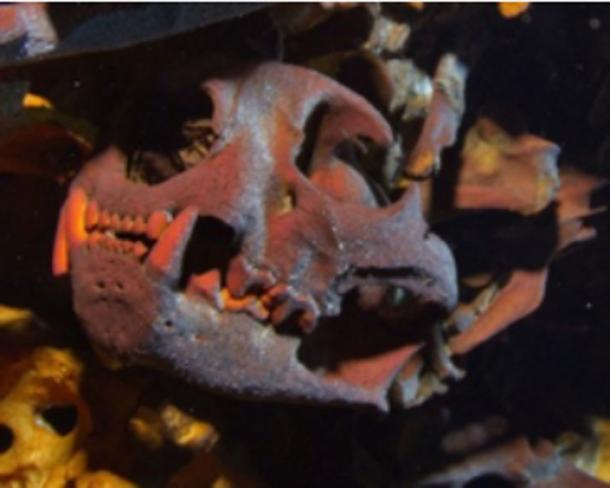 A carnivore's skull from the Hoyo Negro