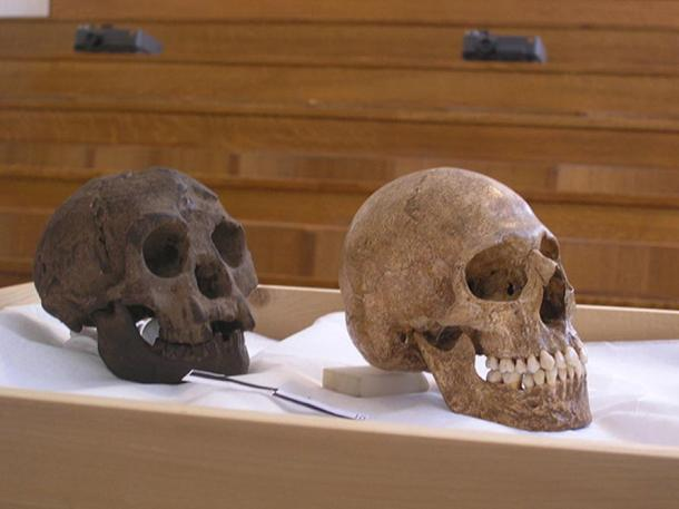 A cast of LB1 (a Homo floresiensis) (left) was compared to several microcephalic skulls, including that of a microcephalic (right) used by Henneman in his attempt to present LB1 as a microcephalic skull.