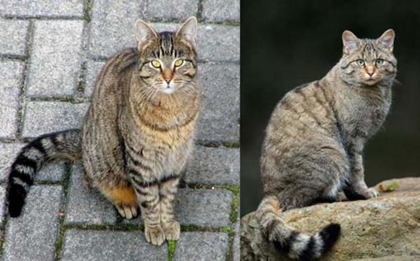 Right, A European wildcat (F. s. silvestris) bearing a similar coat pattern to that of a tabby cat (Left). It is thought that the tabby pattern originates from the numerous subspecies of the wildcat.