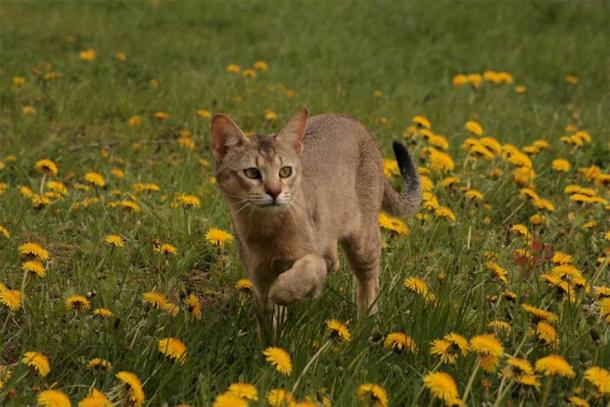 A chausie. (Wilczakrew/CC BY SA 3.0) The team also looked at the cases of Chausies, Bengals, and Savannahs.
