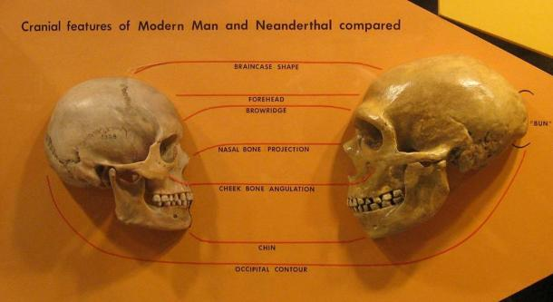 Anatomical comparison of skulls of Homo Sapiens (left) and Homo neanderthalensis (right). Museum of Natural History in Cleveland.