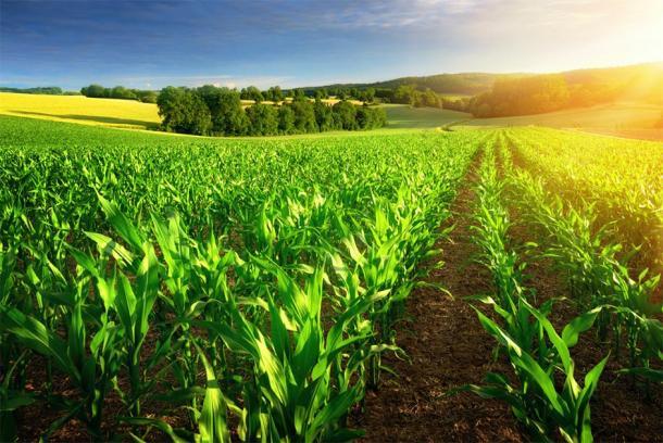 Corn farm in the sunshine. (Smileus / Adobe stock)