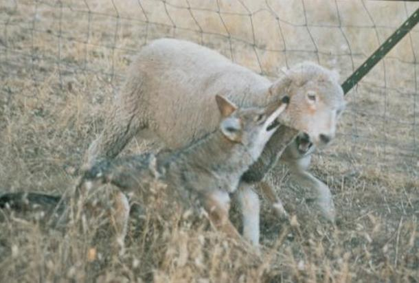 A coyote often attacks by biting the throat of the prey