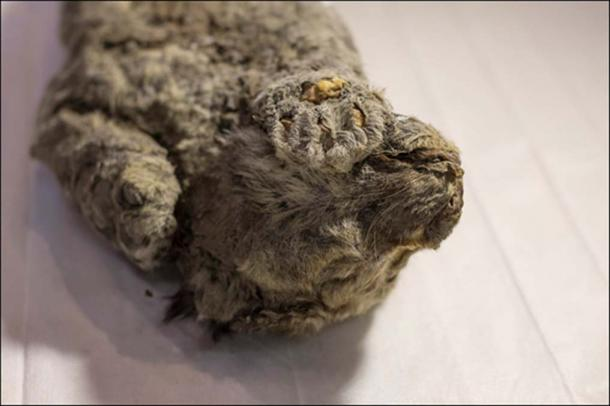 'It is a perfectly preserved lion cub, all the limbs have survived. There are no traces of external injuries on the skin.' Pictures: The Siberian Times