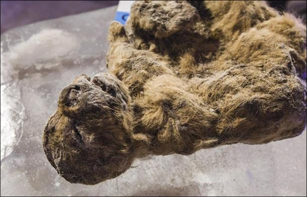 Yakut scientists plan to withhold one of the cubs from any research - the better preserved of the pair, called Uyan.