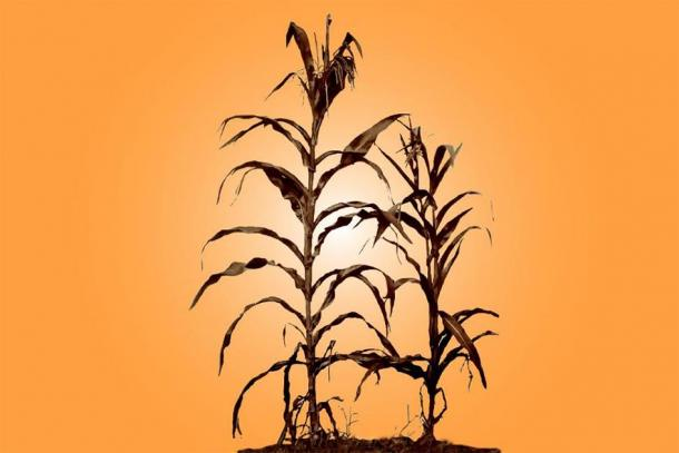 Corn cultivation began in the vicinity of the city of Cahokia between 900 and 1000 AD, researchers report in a new study. Its arrival may have contributed to the abrupt rise of this ancient metropolis in and around present-day St. Louis. (Graphic by Diana Yates)