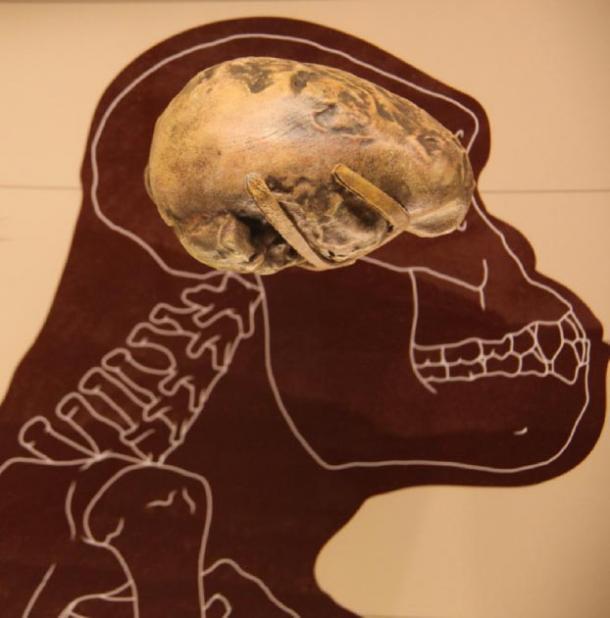 An endocast of the Australopithecus afarensis brain. (Tim Evanson / CC BY-SA 2.0)