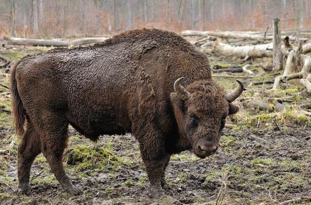 A European bison in the Wisentgehege Springe game park near Springe, Hanover, Germany.