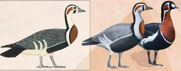 The extinct goose on the left, has been reconstructed in the central image, and is compared to the red-breasted goose on the far right. (Photo from tomb painting CK Wilkinson / Reconstruction Anthony Romilio / Modern species photo Tambako the Jaguar)