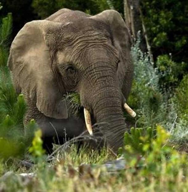 A feeding Knysna elephant by Hylton Herd (SANParks) (Fair use)