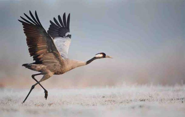 Giant Cranes Immortalized in Folklore Back In Ireland After 300 Years