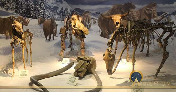 Ice Age Diorama. From left to right: Equus hemionus, Mammuthus primigenius, Coelodonta antiquitatis, Bison exiguous skeletal mounts at the Tianjin Natural History Museum. (Jonathan Chen/ CC BY-SA 4.0)