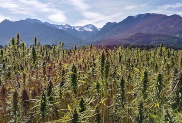 Cannabis plant origins traced to ancient Tibet.