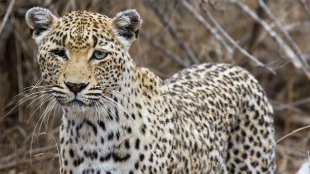 Leopard Trap Discovered in Israel
