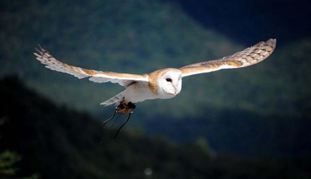 A flying barn owl.