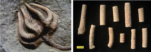 Left: The fossilized remains of a whole crinoid. Right: Fossilized segments of crinoids