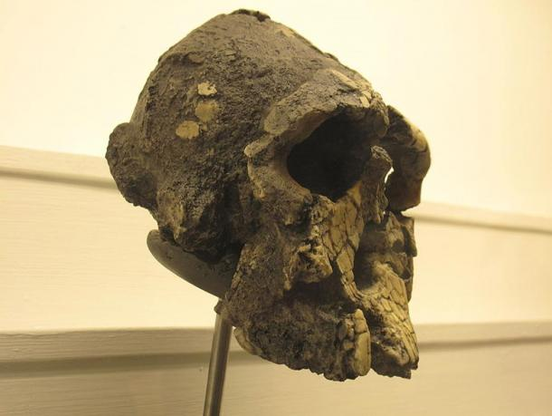 The fossilized skull of Kenyanthropus platyops