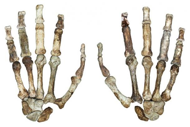 The fossilized hand bones of Australopithecus sediba. (Image: © Dunmore et al. University of Kent)