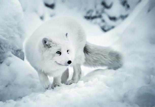 An Artic fox on the hunt in winter resistant to the super cold, just like the Ice Age hunters (Olha / Adobe Stock)