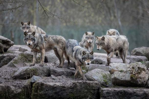 A pack of grey wolves. (AB Photography / Adobe Stock)