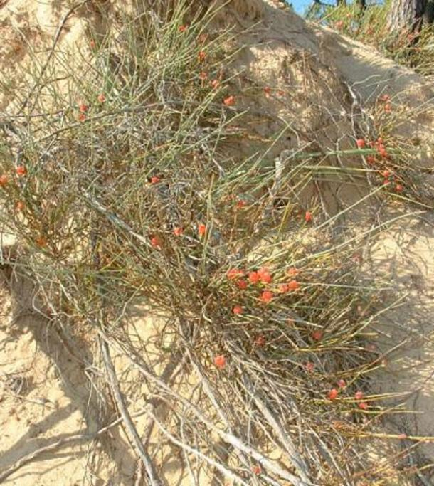 A gymnosperm shrub. The source of ephedrine. One of the possible sources of soma.