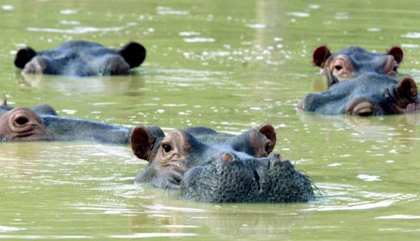 A herd of hippos in Colombia swimming in a muddy lake at the abandoned country home of former drug kingpin Pablo Escobar in Puerto Triunfo.