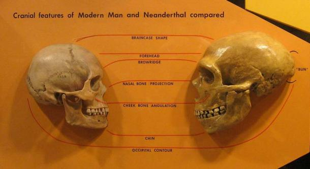 A modern human skull (left) compared to a Neanderthal skull. Though the Neanderthal skull is bigger it was Homo sapiens creativity genes that made us different and allowed modern humans to thrive. (hairymuseummatt / CC BY-SA 2.0)