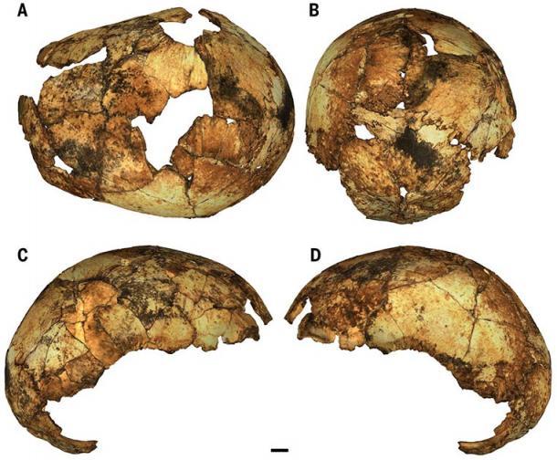 The human species, DNH 134 H. erectus neurocranium. (Herries / Science)
