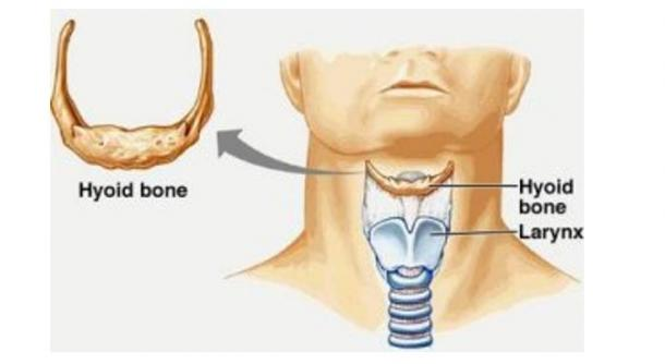 Image depicting the location of the hyoid bone and larynx in a modern huma