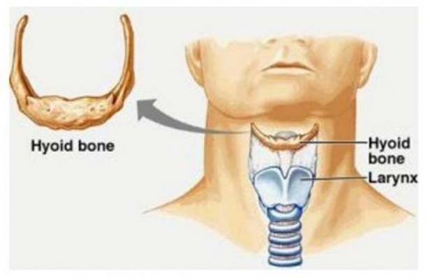 Image depicting the location of the hyoid bone and larynx in a modern human.