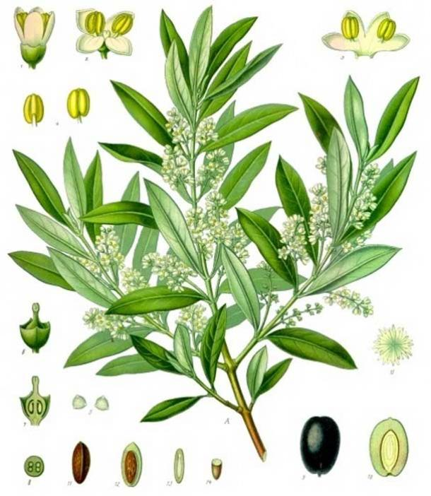 19th-century illustrations of olives and an olive tree branch.