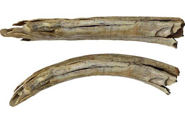 The ancient mammoth tusk was found in Siberia in the 1980s. It had been left in storage at Tomsk State University until the researchers began their investigation. Source: Yury Esin/F. Monna