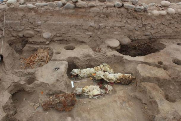 Mummified sacrificial llamas found at Tambo Viejo, Peru. (L.M. Valdez /Antiquity Publications Ltd)