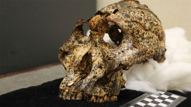 Paranthropus robustus had relatively large teeth and a small brain. (Washington University in St. Louis)