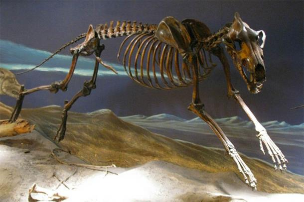 Dire wolf skeleton from the La Brea Tar Pits mounted in running pose. (Eden, Janine and Jim/CC BY 2.0) Dire wolves were among the most common carnivores in the Americas in the Late Pleistocene period.