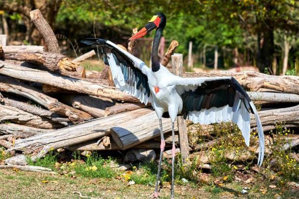 Saddle-billed stork (Ephippiorhynchus senegalensis). (DannyIacob /Adobe Stock)