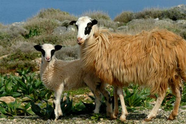 Sheep herding is still common today on the island of Crete but it was an important Minoan industry during the time the Zominthos palace complex was in operation.(Kaelkael / CC BY-SA 3.0)