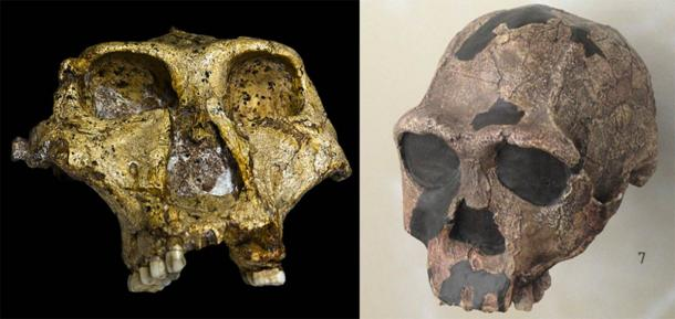 Comparison of a Paranthropus robustus skull (left) (José Braga; Didier Descouens/CC BY SA 4.0) with a Homo erectus skull (right). (CC0)