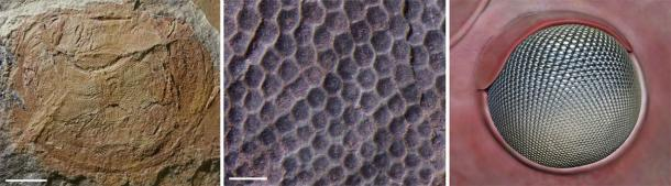 """The eye of 'Anomalocaris' briggsi. Left: The complete fossil eye (the scale bar is 5mm or 0.2 inches); Middle: close-up of lenses (the scale bar is 5mm or 0.2 inches); Right: an artist's reconstruction showing the """"acute zone"""" of enlarged lenses, allowing the creature to see in dim light. (J. Paterson / University of New England)"""