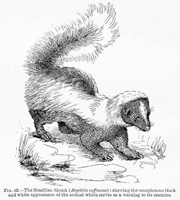 Illustration from The Colors of Animals by Edward Bagnall Poulton, 1890. Black-and-white figure of 'The Brazilian Skunk Mephitis suffocans. Public License