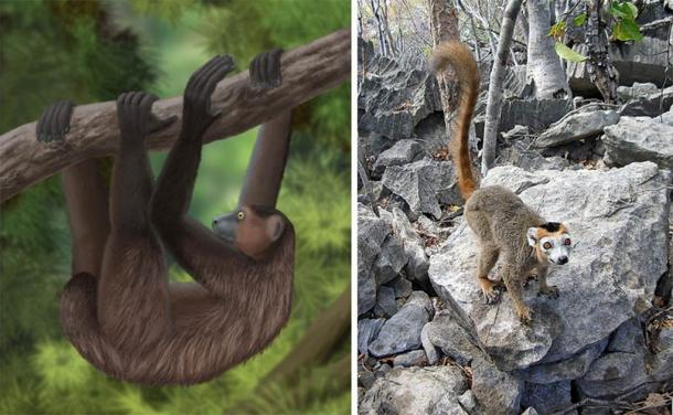 On the left, a life restoration of the giant sloth lemur. (CC BY-SA 3.0) On the right a male crowned lemur photographed at Ankarana Special Reserve in Madagascar. (Image: CC BY-SA 3.0)
