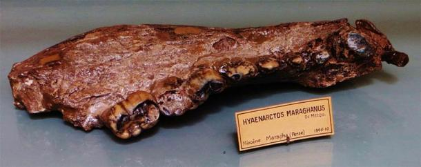 This mandible bone tells scientists that Agriotherium had longer legs and shorter faces than other bears, with wide, short jaws that could generate enormous bite force. (Ghedoghedo/ CC BY-SA 3.0)
