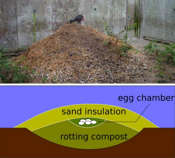 Top: Australian brushturkey on its mound. (D. Cowell/CC BY 3.0) Bottom: Cross-section of a typical megapode mound. (Peter Halasz/CC BY SA 2.5)