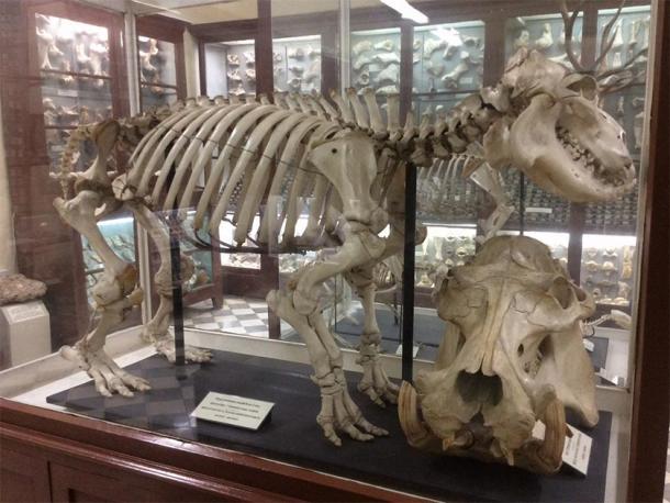 Skeleton of a Maltese hippopotamus found in Ghar Dalam. (Continentaleurope / CC BY-SA 3.0)